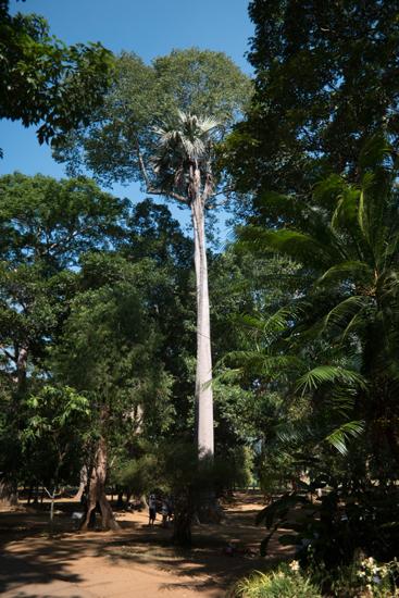 Kandy - Paradeniya Royal Botanic garden-2030