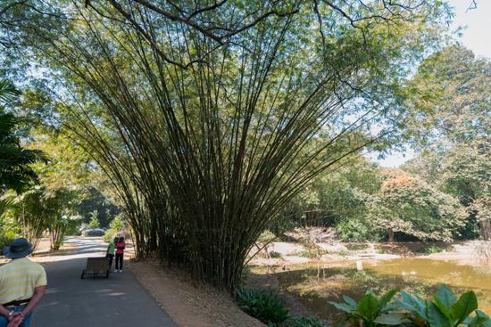 Kandy - Paradeniya Royal Botanic garden  Zeer hoog Bamboe-2060