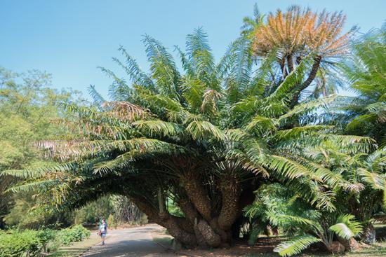 Kandy - Paradeniya Royal Botanic garden  Enorme palmboom-2080
