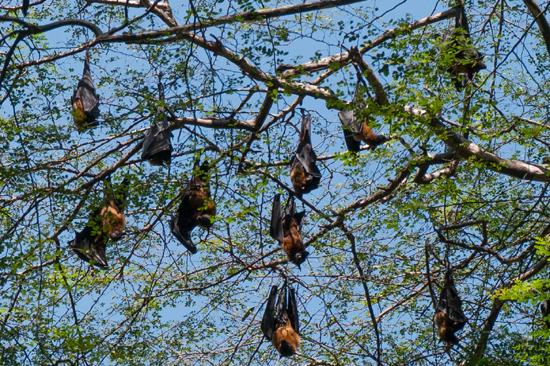 Kandy - Paradeniya Royal Botanic garden  Kolonie Vliegende honden-2130