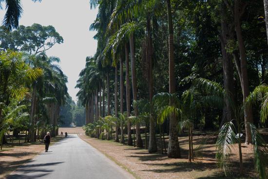 Kandy - Paradeniya Royal Botanic garden  Royal Palm Avenu met statige palmen-2190