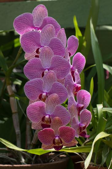Kandy - Paradeniya Royal Botanic garden  Orchidee�n-2230