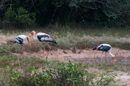 Wilpattu National Park  Painted Stork-3400