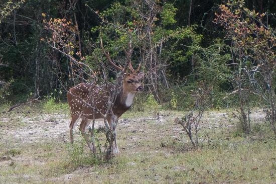 Wilpattu National Park  Axis hert-3420