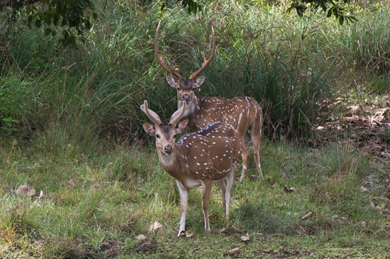 Wilpattu National Park  Axis herten-3430