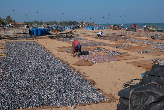 Negombo Het drogen van de vis op het strand-4240