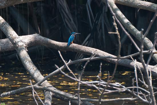 Negombo Boottocht  IJsvogeltje-4340