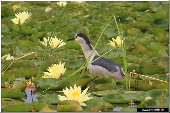 Vogels01 Kwak met jong op de rug<br><br>Srinagar - Kashmir - India 009_kwak-3392.jpg