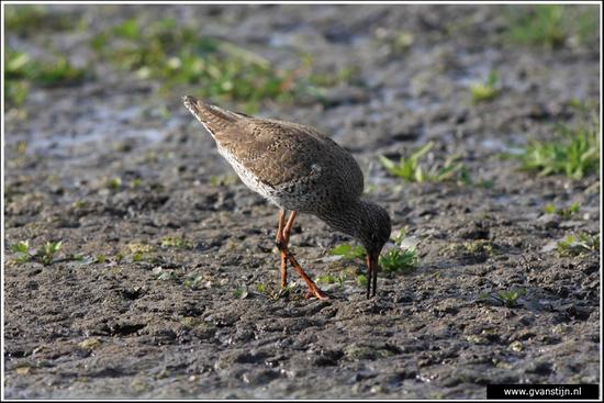 Vogels01 Tureluur<br>Vogelweidegebied Zeevang 010_0284.jpg