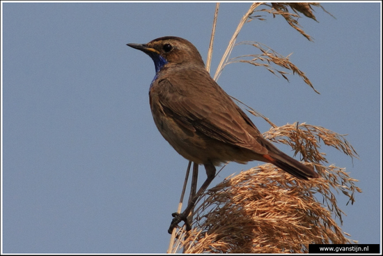 Vogels01 Blauwborst<br><br>Oostvaardersplassen 070_0718.jpg