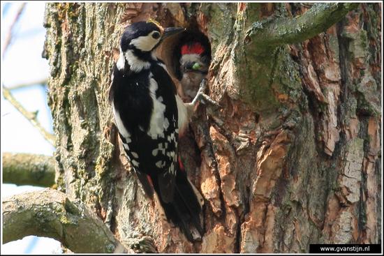 Vogels01 Grote bonte specht tijdens het voederen van de jongen<br><br>Oostvaardersplassen 090_0767.jpg