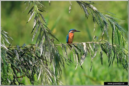 Vogels01 Ijsvogel<br>Uiteraard erg mooi om een close-up te maken maar zo in de natuurlijke omgeving is ook wel leuk<br><br>Oostvaardersplassen 240_3736.jpg