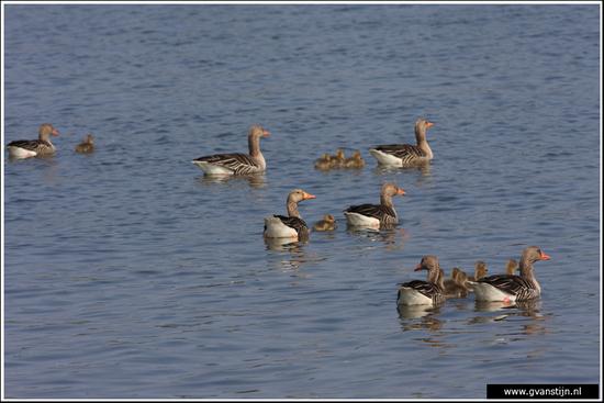 Vogels04 Grauwe ganzen<br><br>Onderdijk IMG_5426.jpg