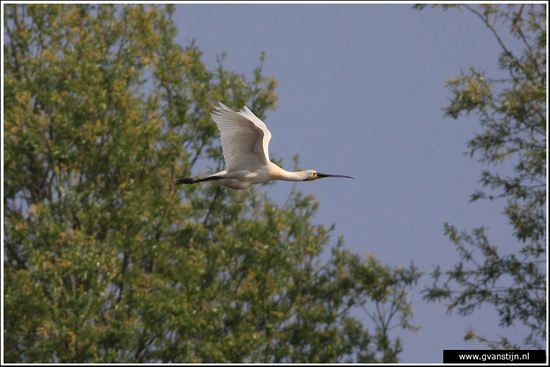 Vogels04 Lepelaar<br><br>Onderdijk IMG_5432.jpg
