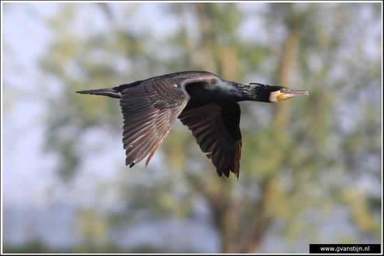 Vogels04 Aalscholver<br><br>Onderdijk IMG_5456.jpg