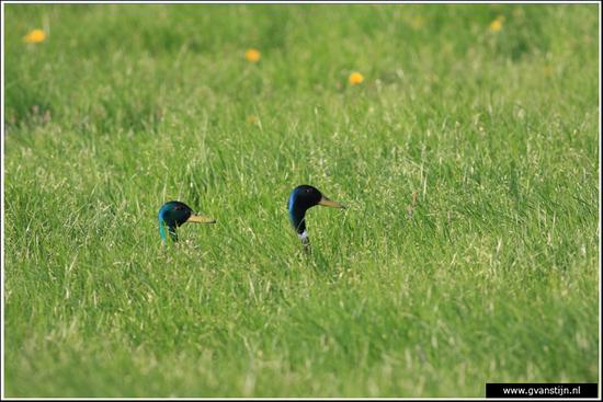 Vogels04 Wilde eenden<br><br>Bobeldijk IMG_5517.jpg