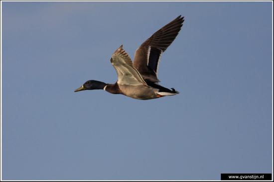 Vogels04 Wilde eend<br><br>Bobeldijk IMG_5525.jpg