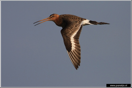 Vogels04 Grutto<br><br>Bobeldijk IMG_5544.jpg