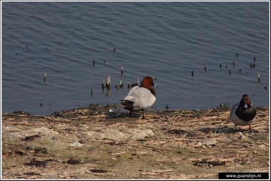 Vogels04 Kuifeend<br><br>Schellinkhout IMG_5625.jpg
