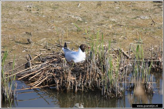 Vogels04 Meeuw<br><br>Schellinkhout IMG_5636.jpg