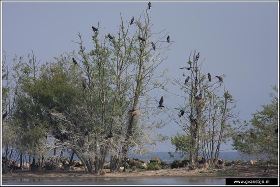 Vogels04 Aalscholverkolonie<br><br>Onderdijk IMG_5682.jpg