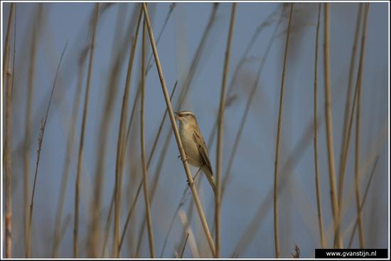 Vogels04 Onderdijk IMG_5701.jpg