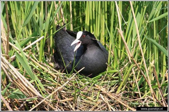 Vogels04 Meerkoet<br><br>Oeverlanden Amstelveense Poel IMG_5836.jpg