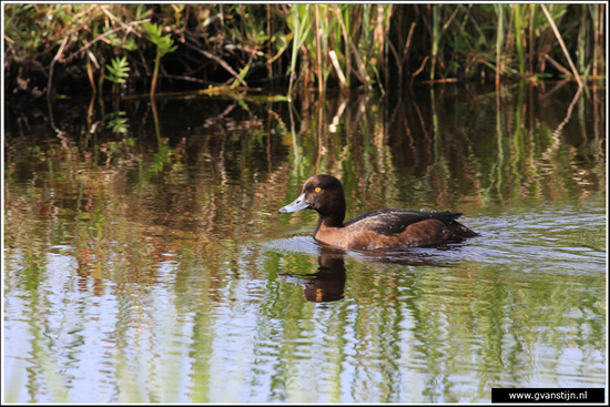 Vogels04 Kuifeend<br><br>Oeverlanden Amstelveense Poel IMG_5860.jpg