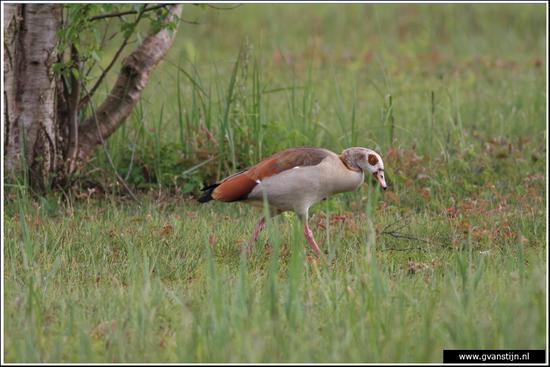 Vogels04 Nijlgans<br><br>Oeverlanden Amstelveense Poel IMG_5934.jpg