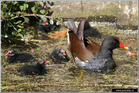 Vogels04 Waterhoen met jongen<br><br>Bobeldijk IMG_6773.jpg