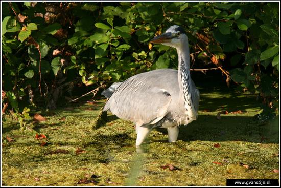 Vogels04 Blauwe Reiger<br><br>Amsterdamse Bos IMG_8208.jpg